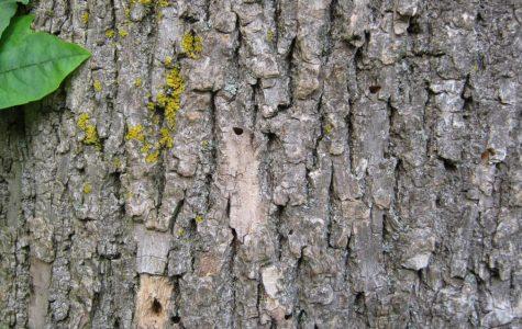 """Scores"" of Arrowhead Trees Get The Axe"