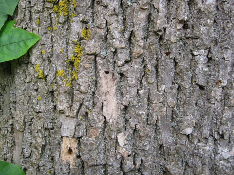 The Emerald Ash Borer leaves distinctive D-shaped exit holes as it leaves ash trees.